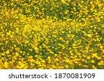 beautiful yellow cosmos flower... | Shutterstock . vector #1870081909