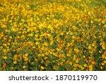beautiful yellow cosmos flower... | Shutterstock . vector #1870119970