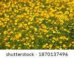 beautiful yellow cosmos flower... | Shutterstock . vector #1870137496