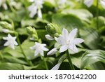 Hosta Blooms With White...