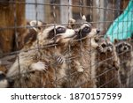 Cute Fluffy Raccoons In A Cage...