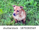 Red Haired Elderly Dog   Of...