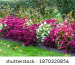 White Begonia Semperflorens And ...