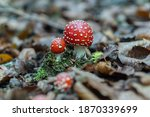 Pair Of Fly Agaric With Closed...