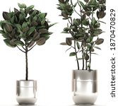 3d Illustration Of Ficus...