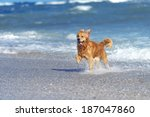 Stock photo young golden retriever running on the beach 187047860