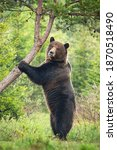 Majestic Brown Bear  Ursus...
