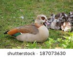 Egyptian Nile Geese