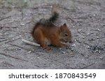 Red Squirrel Eats Sunflower...