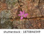 Pink Flowers Blooming In The...