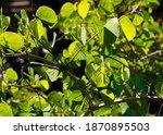 Summer Foliage Of Bauhinia...