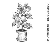 tomato plant in pot sketch... | Shutterstock .eps vector #1871081890