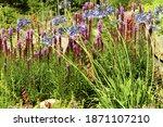 Liatris Spicata   Herbaceous...