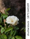 Small photo of Focus on white camella flowers with the Latin name Camellia sinensis can also be called tea flowers