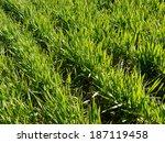 winter wheat field fragment at...   Shutterstock . vector #187119458