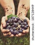 grapes harvest. farmers hands... | Shutterstock . vector #187128449