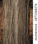 Carpinus Betulus  The European...