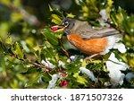 Male American Robin Turdus...
