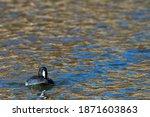 American Coot Swimming On Lake