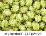Beautiful Fresh Hops. Located...