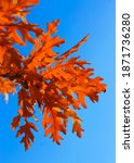 An Yellow Oak Leaves On The...