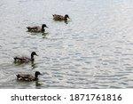 Four Ducks On Water Swiming