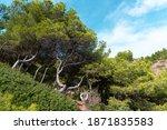 ceder forest on a hill ... | Shutterstock . vector #1871835583