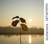 Leaves Of An Young Elm Tree In ...
