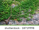 Vine Growing On A Rock Wall