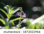 Isolated Single Flowering Stem...