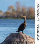 Cormorant Posing In Rock...