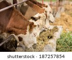 Bulls Eating Lucerne Hay From...