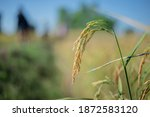 A Golden Ear Of Rice In The...