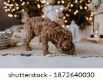 Red Brown Cute Poodle Puppy