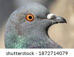 Wild Pigeon Head Close Up View