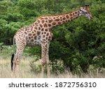 A Closeup Photo Of A Giraffe...