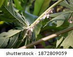 Plant Pest  Mearly Bug In Papaya