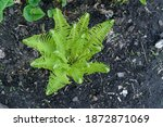 Young Stalks Of A Fern. Green...