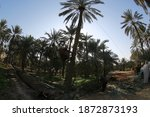 Date Or Date Palm  Is A...