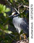 Small photo of Adult Yellow-crowned Night Heron in the mangroves at dawn in Ding Darling National Wildlife Refuge in Florida