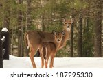 Two deer at Copper Falls State Park in Mellen, Wisconsin