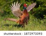 The Common Pheasant  Phasianus...