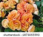 Orange Begonias Blooming In The ...