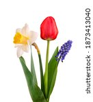 Muscari  Narcissus And Red...
