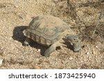 Desert Tortoise  Mojave Desert  ...