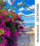 Pink Bougainvillea With Blue...
