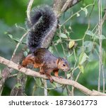 Variegated Squirrel Is A Tree...