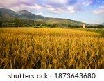 Golden Rice Field On Landscape...