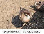 Goose Standing Sleep On One Leg ...