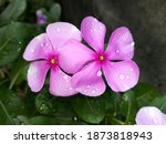 A Pair Of Pink Periwinkle...
